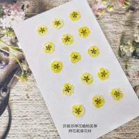 滿天星-黃色正面-押花花材