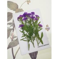 香雪球-紫色帶枝-押花花材