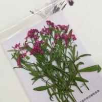香雪球-桃紅色帶枝-押花花材