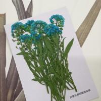 香雪球-天藍色帶枝-押花花材
