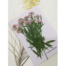 香雪球-粉紅色帶枝-押花花材