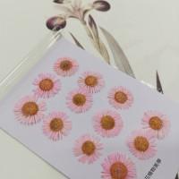 白針菊-淡粉紅色-押花花材