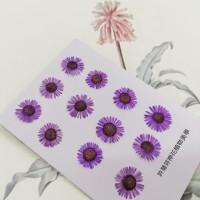 白針菊-紫色-押花花材