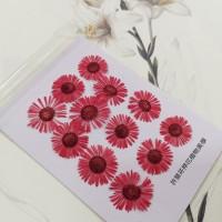 白針菊-紅色-押花花材