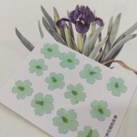 美女櫻-淺天藍色-押花花材