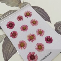 白針菊-暗紅色-押花花材