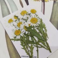 白晶菊-白色帶葉