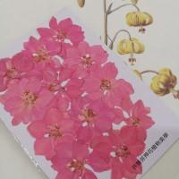 千鳥-粉紅色
