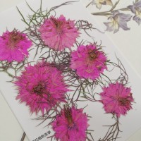 黑種草-粉紅色-押花花材