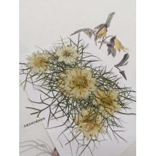 黑種草-白色-押花花材