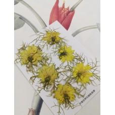 黑種草-黃色-押花花材