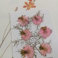 黑種草-淡粉紅色-押花花材