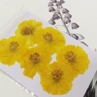 波斯菊-黃色-押花花材