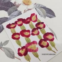 夏堇-原色粉紅色-押花花材