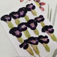 夏堇-原色藍色-押花花材