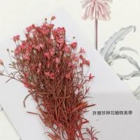 滿天星-細枝紅色-押花花材