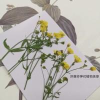 霞草-黃色-押花花材