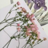 霞草-粉紅色-押花花材