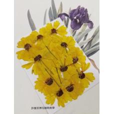 蛇目菊-原色-押花花材
