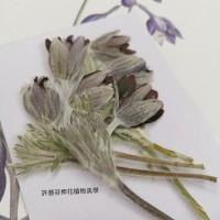 翁草-原色含苞-押花花材