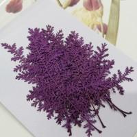 石捲柏-紫色-押花花材