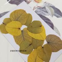 尤加利葉-原黃色-押花葉材