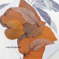 尤加利葉-橘色-押花花材