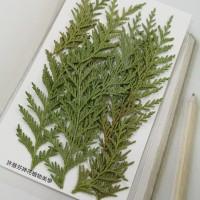 肖楠-綠色-押花花材