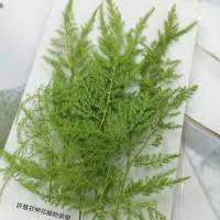 新娘草-綠色-押花花材