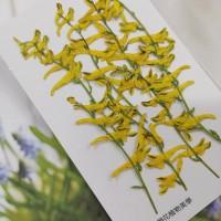 黃堇-黃色-押花花材