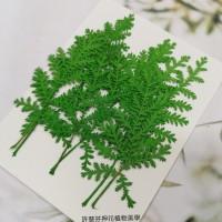 石捲柏-綠色-押花花材
