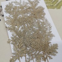 石捲柏-白色-押花花材