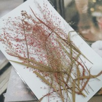 早熟禾-紅色-押花花材