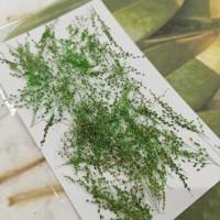 早熟禾-綠色-押花花材