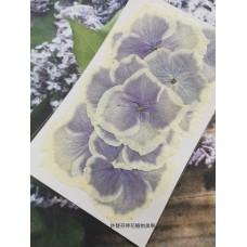 繡球花-白紫色
