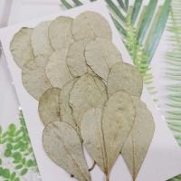 銀圓葉-原色-押花花材