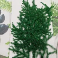 捲柏葉-綠色-押花花材