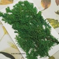 柏樹葉-綠色-押花花材
