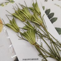黑種草果實-綠色-押花花材
