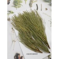 五葉松-原色-押花花材