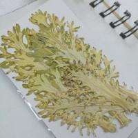 菜葉-原色-押花花材