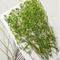 珍珠草_綠色-押花花材