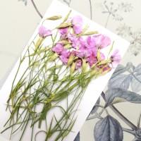 麥蘭花-粉紅色- 押花花材