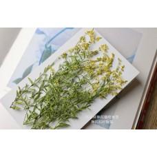 星點草-黃色-押花材料
