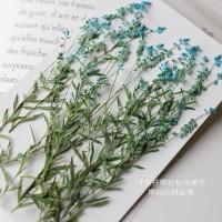 星點草-藍色-押花材料