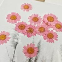 白晶菊-乾燥玫瑰色