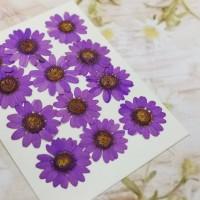 白晶菊_紫色