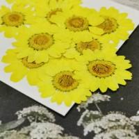 白晶菊-鮮黃色