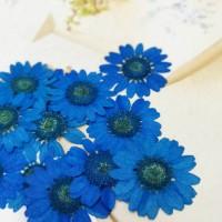 白晶菊-寶藍色