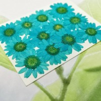 白晶菊-湖藍色